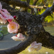 長居公園「郷土の森」の梅