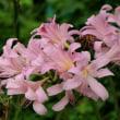 ナンバンギセルが咲いていました・調布市野草園