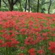 初めて行った野川公園(2)ヒガンバナ、フジカンゾウ、ミゾソバ、ツリフネソウ、アキノノゲシ、ヒヨドリジョウゴ