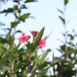キョウチクトウは秋でも夏の色