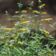 アガスタキ シソ科 シソ科のハーブ、サルビアの花とは兄弟です。今日の野鳥:ルリビタキ
