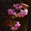 「八重の想い」 いわき 高野花見山にて撮影! 八重桜