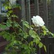 新雪:蔓バラ