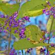 気品のある紫ですねえ! ムラサキシキブ(紫式部)