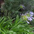 花壇のアガパンサスの花