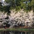 神宮寺でお花見