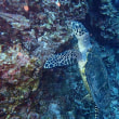コブシメさん。沖縄ダイビング 那覇シーマリン