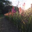 夏の光とグラジオラス