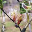 花彩々    猫柳の花が咲く