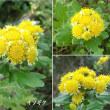 磯菊の黄色の花は
