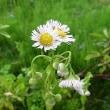 季節の花「春紫苑 (はるじおん)」