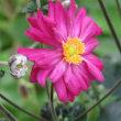 八重咲の秋明菊