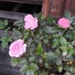 秋の薔薇1026