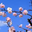 大和郡山城 城址公園 梅七部咲き?