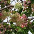 八重桜が見ごろの牧
