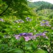 1万本の紫陽花が咲き誇る「三室戸寺」。紫陽花絵馬やグッズもいろいろ。