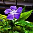 雪柳と紫ハナナ等