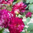 ケロたん on the rose