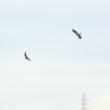 逃げるオグロシギ、追うハヤブサ