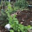 じゃがいもの種イモを植えました