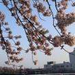 満開の桜に感激!