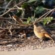 2/21探鳥記録写真(狩尾岬の鳥たち:ウミアイサ♀ほか)