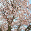 来宮神社と糸川の桜