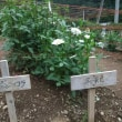 両神山麓 花の郷 ダリア園