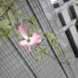 きれいな花・・・風が吹きませんように。