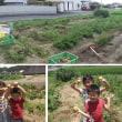 【家庭菜園】 ジャガイモの収穫