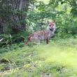 狐に出会う