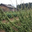 伝統野菜「田沢の地ウリ」と「田沢の長いも」畑たより