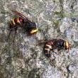スズメバチ退治