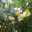 11月11日(土曜日)「お茶の花」(てまりさん)