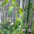 お庭のトマト