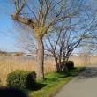 手賀沼の柳