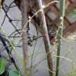 ミズヒキが咲き、ジャカランダの蕾膨らむ