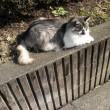 今日のまったりペルシャ猫さん