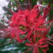 庭の花(曼珠沙華)