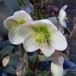 季節の花「クリスマスローズ」