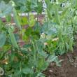 スナップエンドウ、収穫開始。