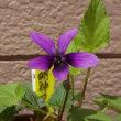 スミレの育て方2018年4月 スミレの花を楽しむ  開花37号・38号 明神ヨシノスミレ