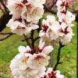 雨に滴る梅の花