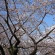 地上21階から桜を見下ろした・・  (静岡県庁別館)