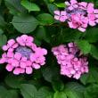 紫陽花の季節4・・・【いな】