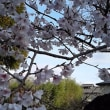 八幡神社の江戸彼岸桜