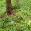クリンソウ咲く森