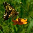 今年の多くの訪問者 《蝶》