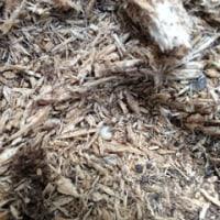 産卵セット第二陣&初幼虫ゲット