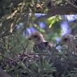 今日の野鳥   サシバ ・ メジロ ・サシバの雛いろいろ